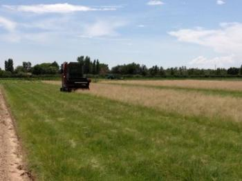 Image of Native Grass Seed Harvest
